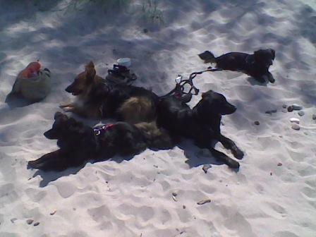 Am Strand: Das Rudel ruht.
